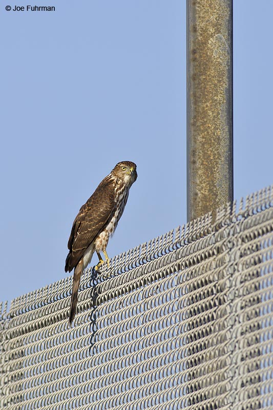 Cooper's Hawk L.A., Co., CA Sept. 2012