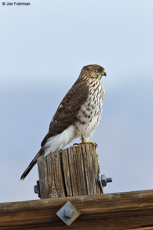 Cooper's Hawk Douglas Co., NV Oct. 2010
