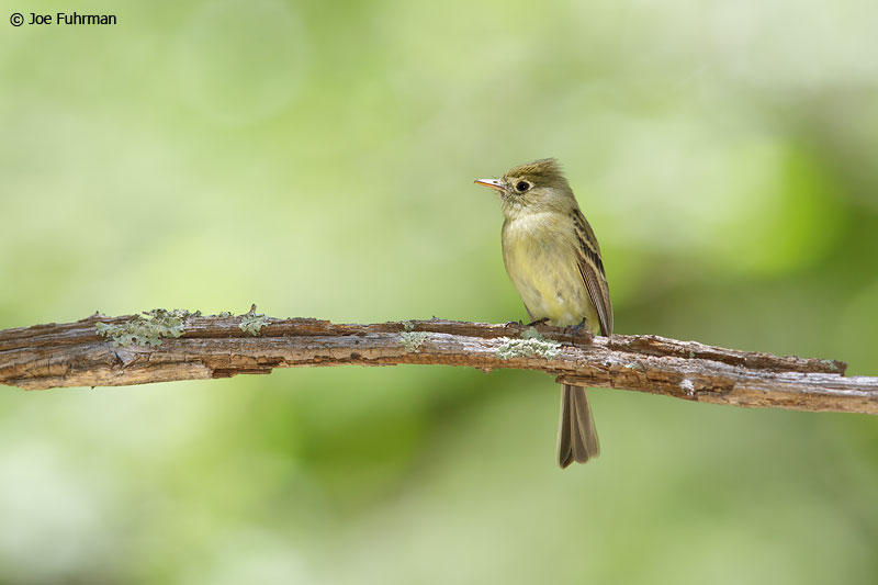 Cordilleran Flycatcher Cochise Co., AZ   June 2015
