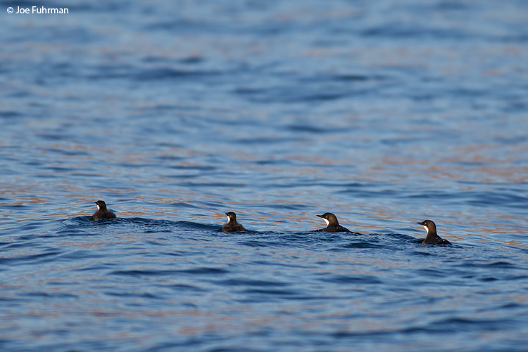 Craveri's Murrelet BCS, Mexico March 2011