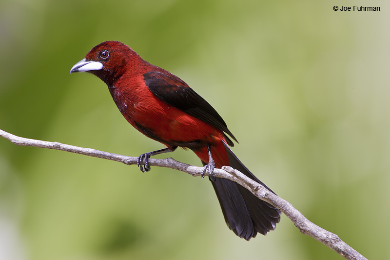 Crimson-backed Tanager m. Gamboa, Panama March 2008
