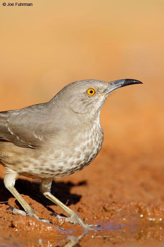 Curve-billed Thrasher Starr Co., TX March 2015