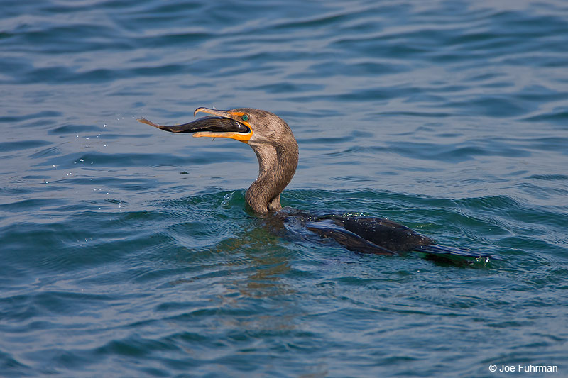 Double-crested Cormorant L.A. Co., CA August 2006