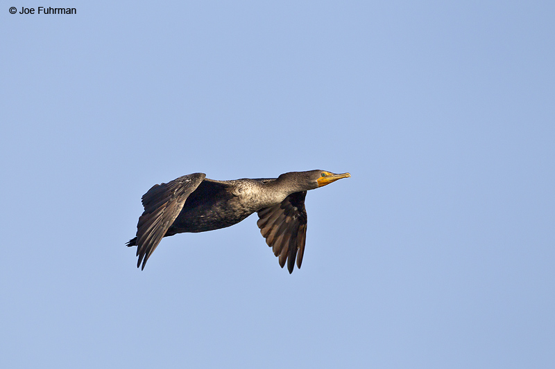Double-crested Cormorant Orange Co., CA August 2012