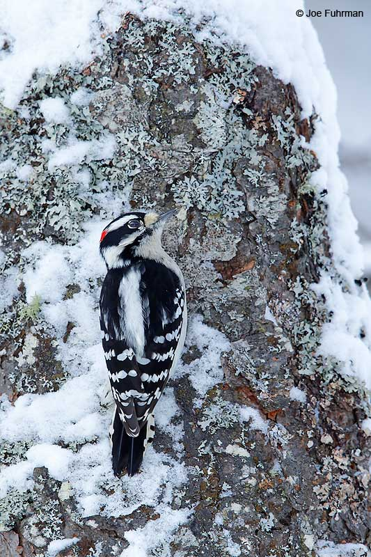 Downy Woodpecker Marquette, MI Jan. 2016