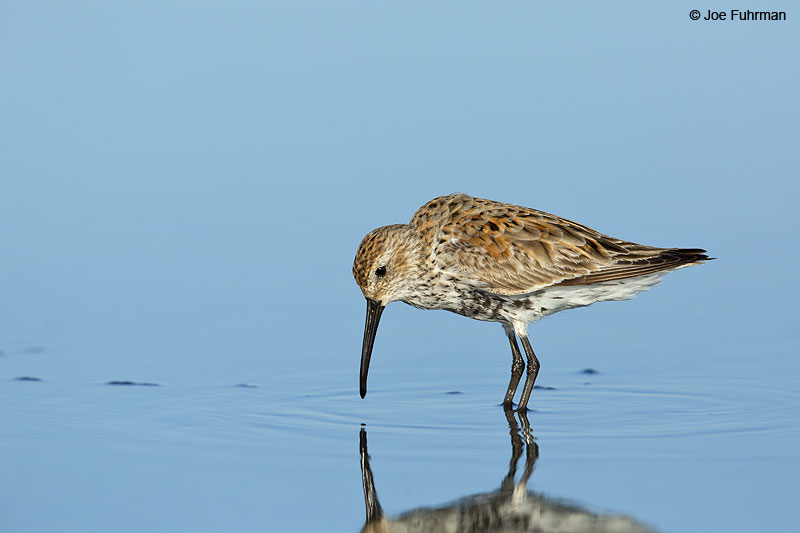 Dunlin Galveston, TX   May 2014