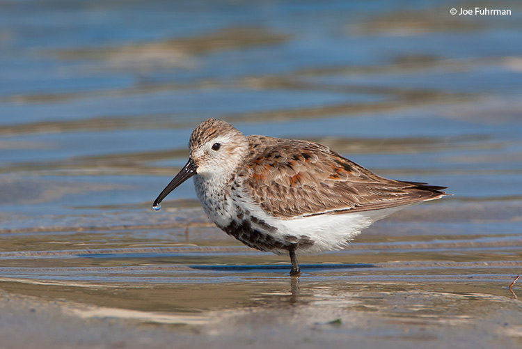 Dunlin L.A. Co., CA   April 2009