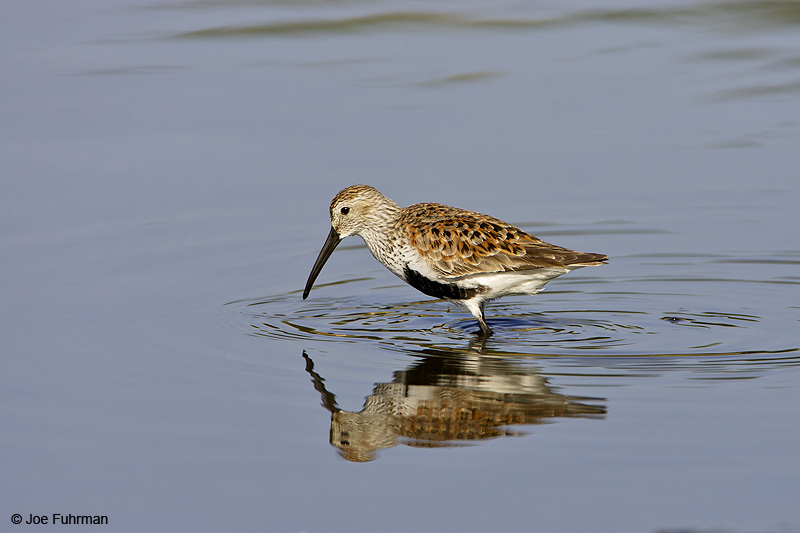 Dunlin L.A. Co., CA   April 2008