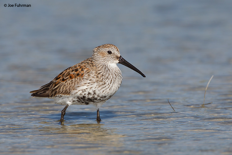 Dunlin Lee Co., FL    April 2011
