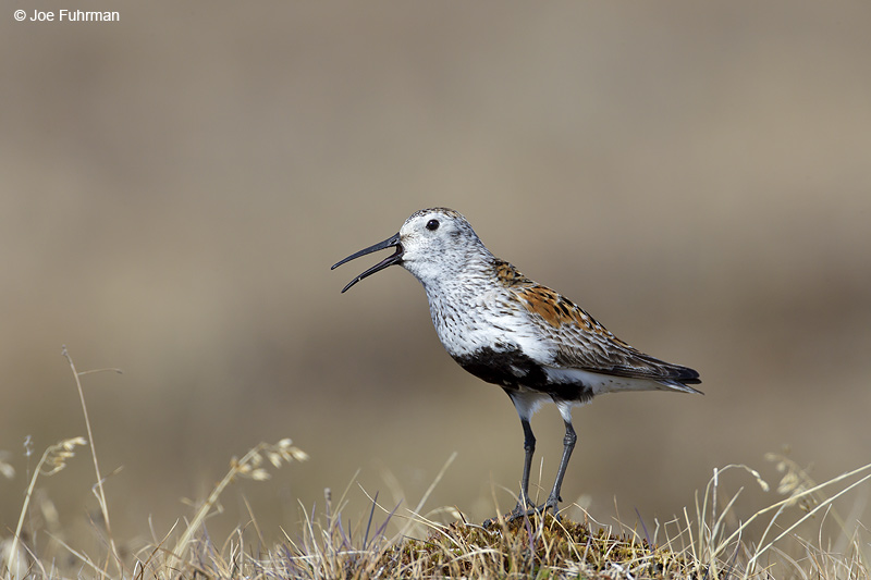 Dunlin breeding Barrow, AK    June 2012