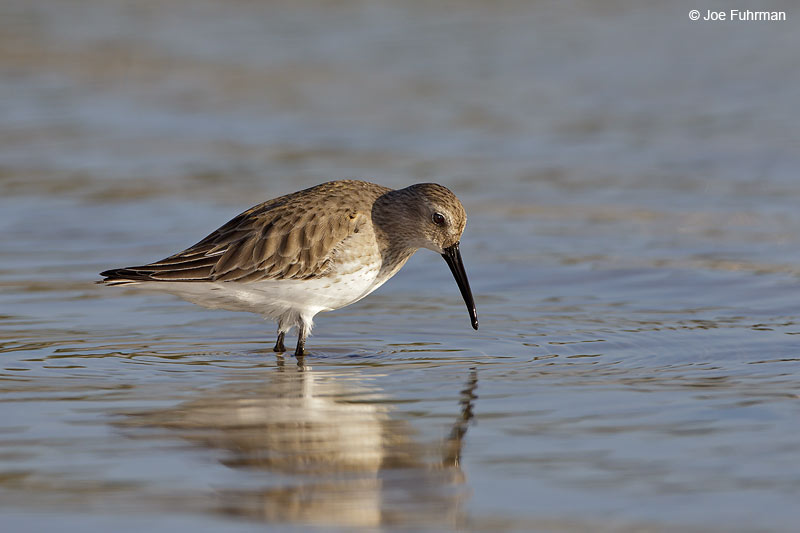 Dunlin-winter plumage Pinellas Co., FL   Dec. 2012