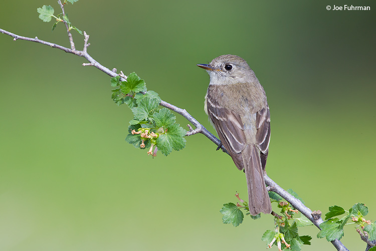 Dusky Flycatcher Kern Co., CA    July 2011