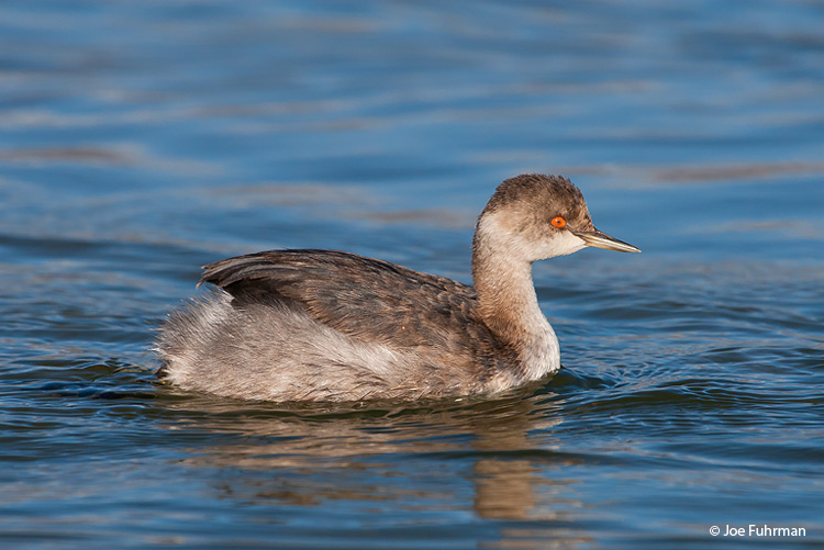 Eared Grebe Mono Co., CA   October 2006