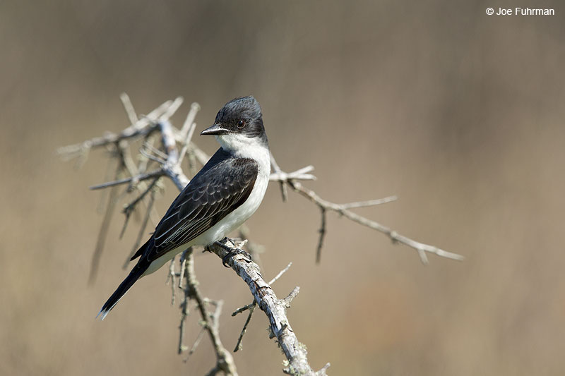 Eastern Kingbird Galveston, TX   May 2014