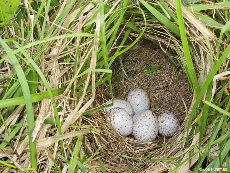 Eastern Meadowlark nest Cuyahoga Co., OH May 2009