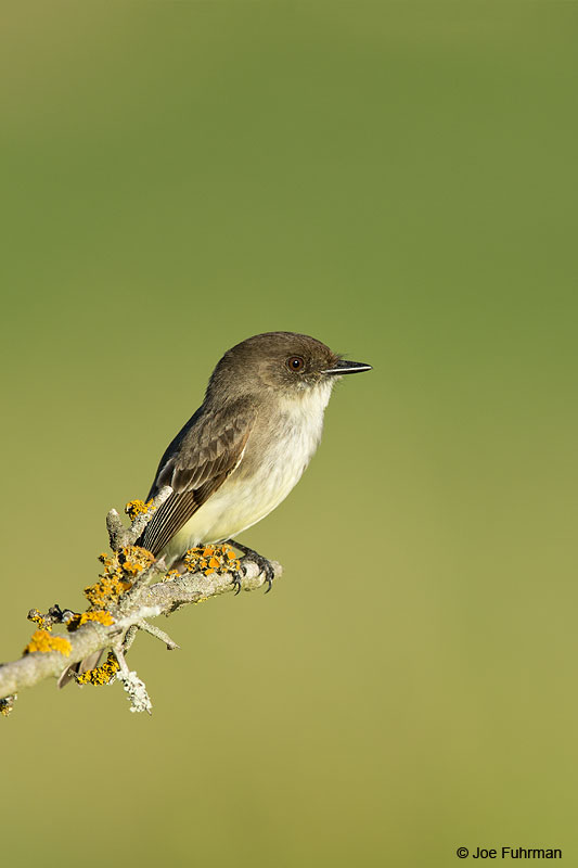 Eastern Phoebe Hidalgo Co., TX Feb. 2014