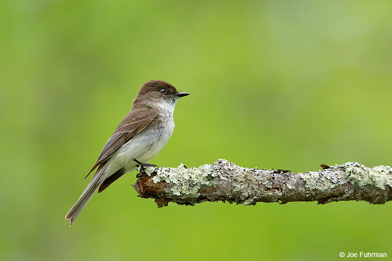 Eastern PhoebeLackawanna Co., PA May 2016