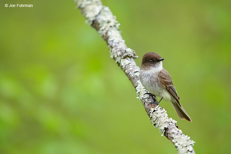 Eastern Phoebe Lackawanna Co., PA May 2016
