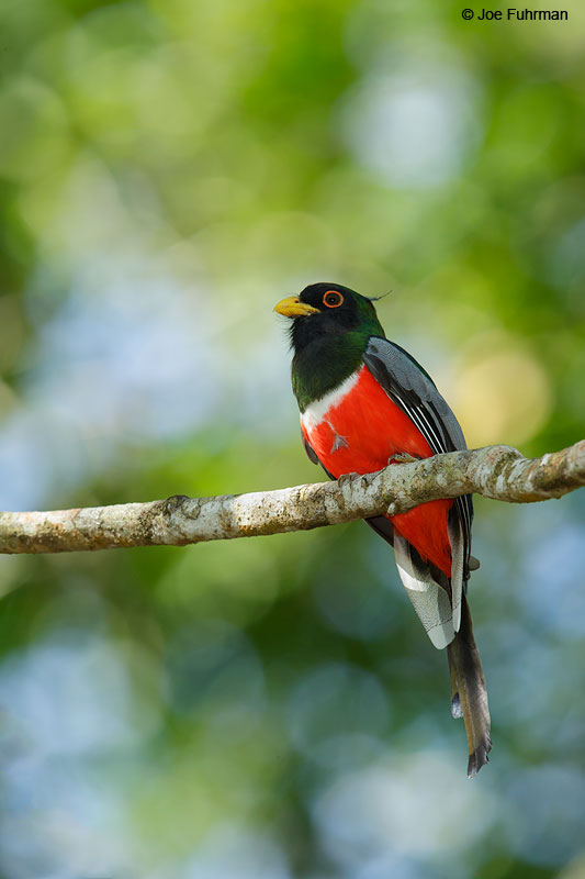 Elegant Trogon Jalisco, Mexico   April 2015