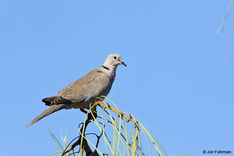 Eurasian Collared-Dove Maricopa Co., AZ Aug. 2014