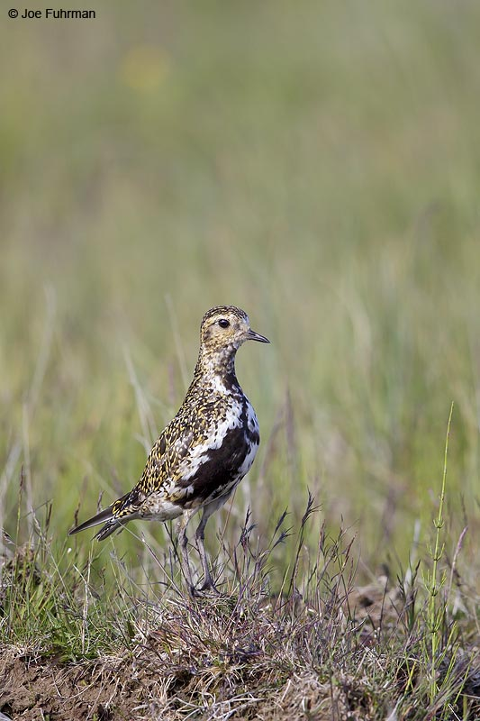 European Golden-Plover Iceland   July 2013