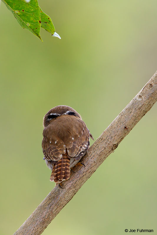 Ferruginous Pygmy-OwlNayarit, Mexico April 2015