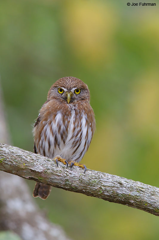 Ferruginous Pygmy-Owl Nayarit, Mexico April 2015