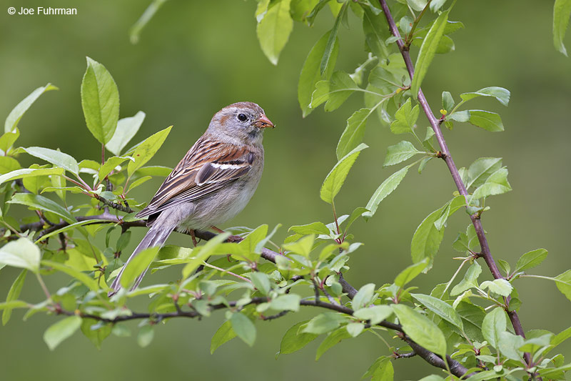 Field Sparrow Summit Co., OH May 2012