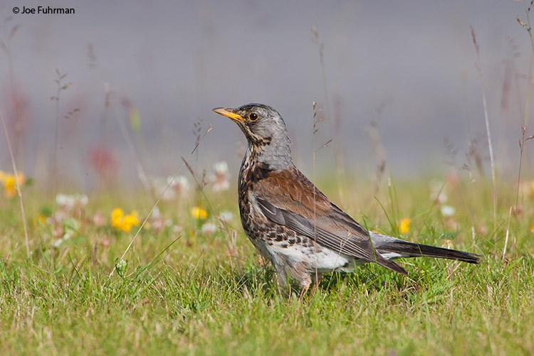 Fieldfare Oslo, Norway   June 2008