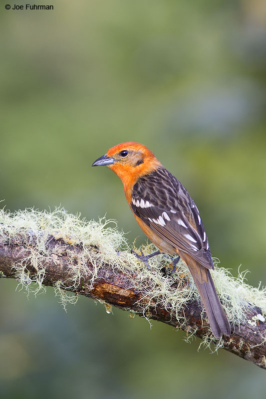 Flame-colored_Tanager_16A5228