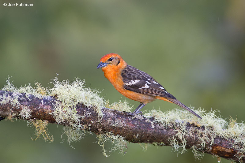 Flame-colored_Tanager_16A5233