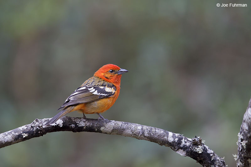 Flame-colored_Tanager_W0G6955