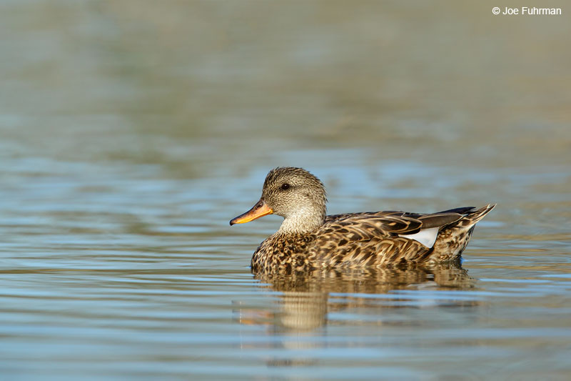 Gadwall Orange Co., CA Jan. 2015