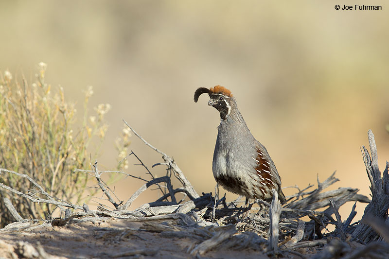 Gambell's Quail Clark Co., NV   May 2014