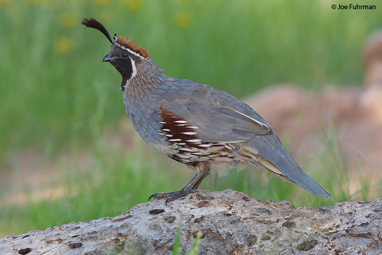 Gambell's Quail male Santa Cruz Co., AZ   August 2008