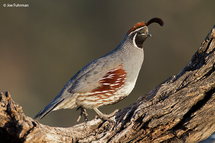 Gambell's Quail Santa Cruz Co., AZ   April 2010