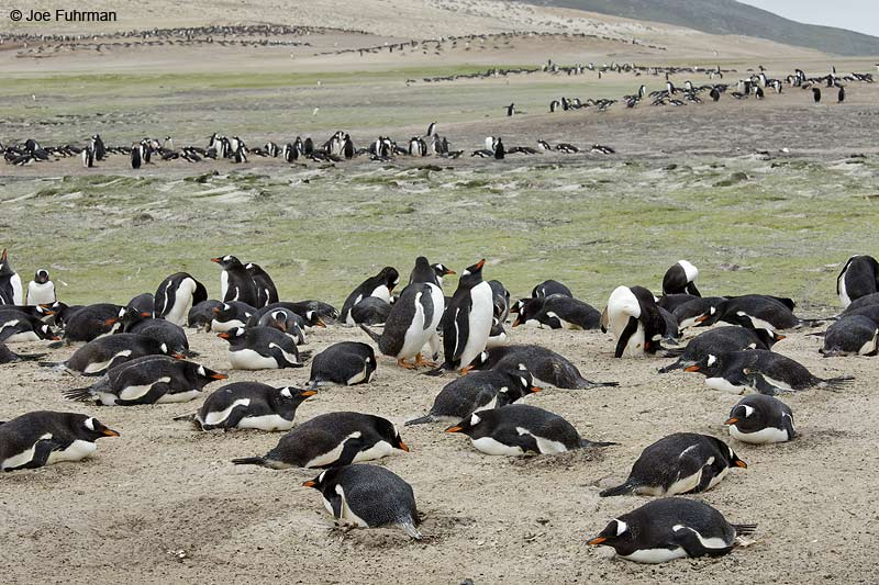 Gentoo Penguin Saunders Island, Falkland Islands Nov. 2010