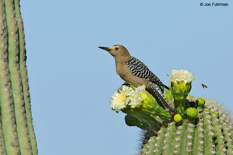 Gilded Flicker Saguaro National Park, AZ April 2016