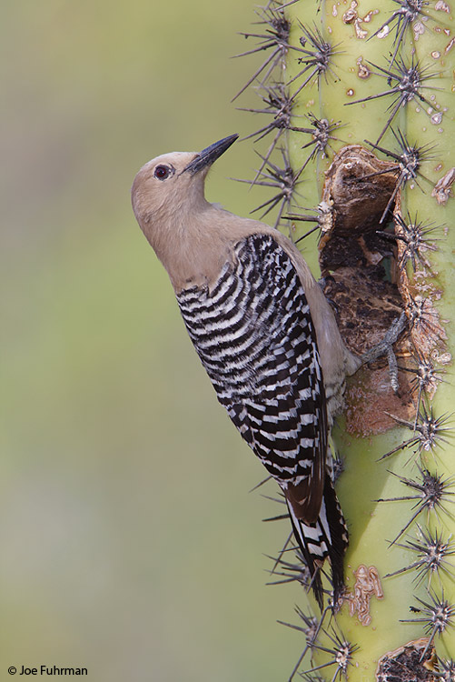Gila Woodpecker female Pima Co., AZ May 2009