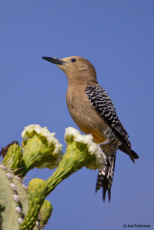 Gila Woodpecker male Pima Co., AZ May 2006