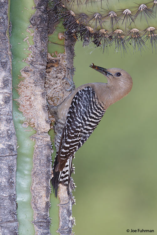 Gila Woodpecker Pima Co., AZ May 2011