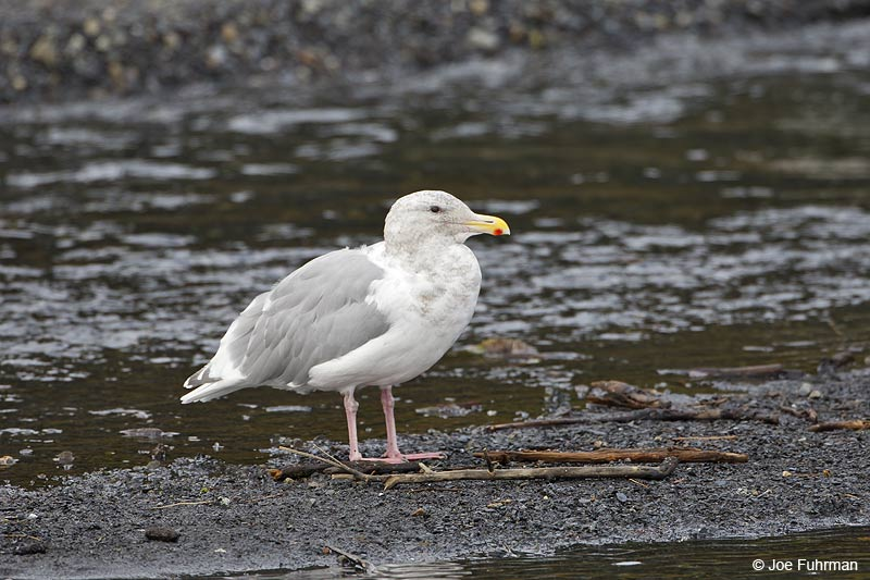 Glaucous-winged Gull Seward, AK   Sept. 2012
