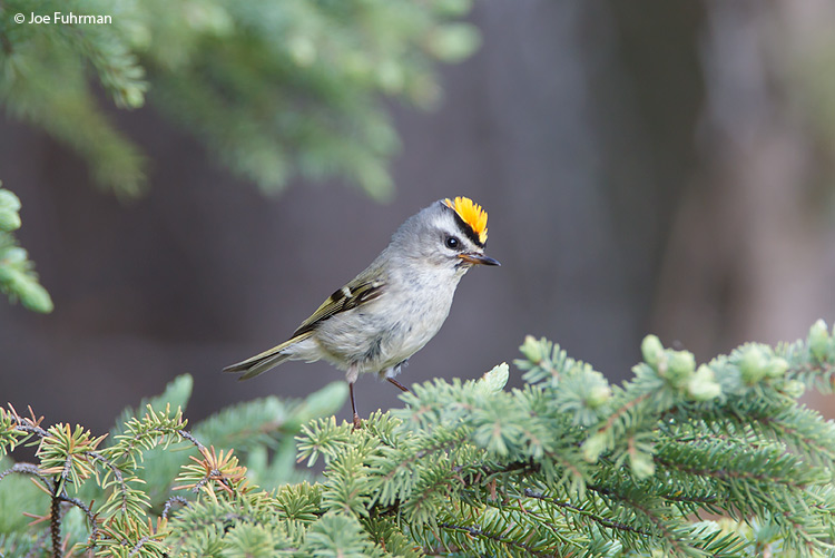 Golden-crowned Kinglet Chippewa Co., MI   May 2010
