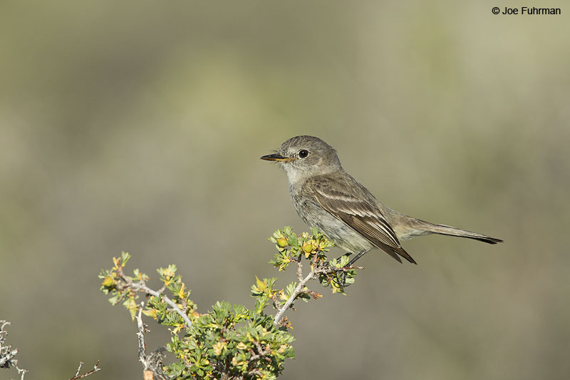 Gray Flycatcher Mono Co., CA   June 2014