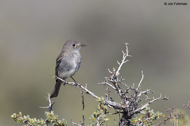 Gray Flycatcher Mono Co., CA   June 2013