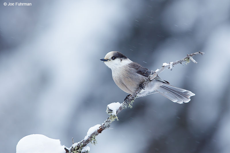 Gray Jay (canadensis)Chippewa Co., MI Jan. 201