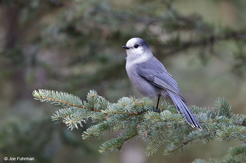Gray Jay Banff National Park, AB, Canada Oct. 2013