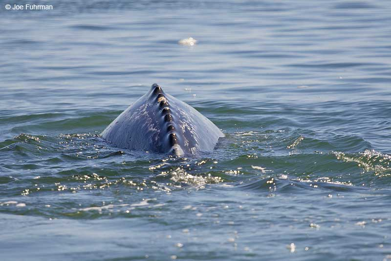 Gray Whale Magdalena Bay, BCS, Mexico    March 2011