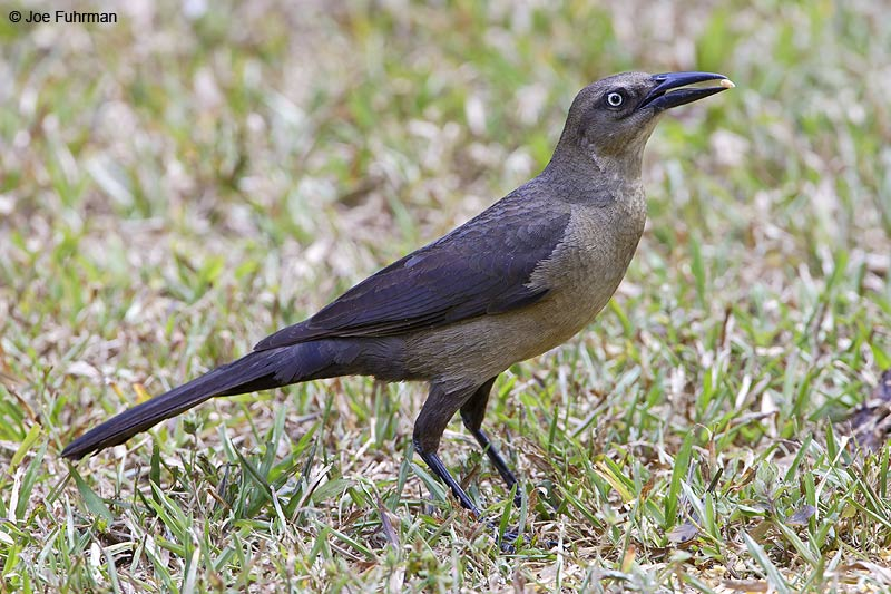 Great-tailed Grackle female Gamboa, Panama March 2008