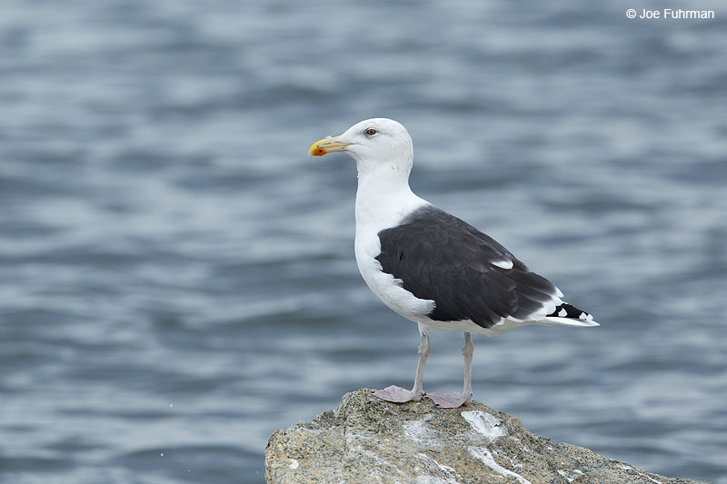 Great Black-backed Gull New Haven Co., CT   Oct. 2014